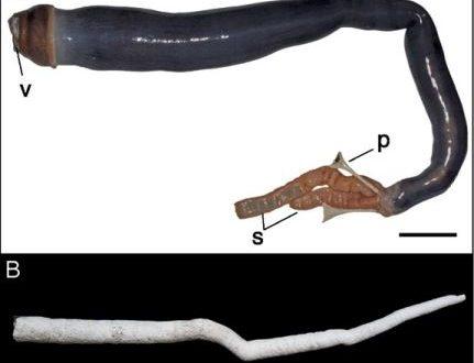 Най-дългото мекотело - корабен червей. Основно изображение