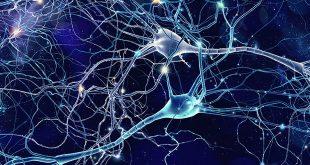 Нашите неврони са създадени за дълъг живот