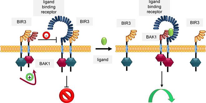 Невронi ген Bak1