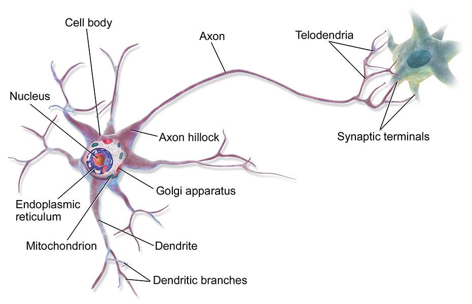 Неврони - структура