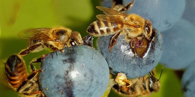 Видове пчели